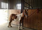 Miniature Stallion for Sale in Strasburg, Pennsylvania