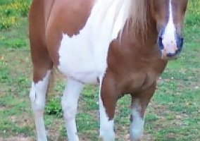 Spotted Saddle Gelding