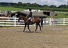 Thoroughbred Gelding for Sale in Coatesville, Pennsylvania