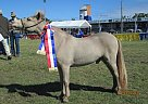 Miniature Stallion at Stud in Lockyer Waters, Queensland