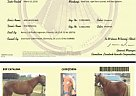 Peruvian Paso Mare for Sale in Glenmora, Louisiana