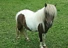 Miniature Mare for Sale in Dennison, Minnesota