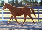 Quarter Pony Mare for Sale in Aiken, South Carolina
