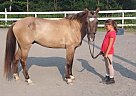 Welsh Pony Gelding