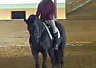 Hanoverian Gelding for Sale in Wylie, Texas