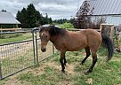 Mustang Mare for Sale in Boring, Oregon