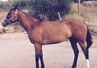 Thoroughbred Mare for Sale in Pullman, Washington