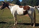 Hanoverian Gelding for Sale in Columbus, North Carolina