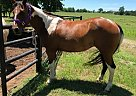 "Plan A ""Cutie"" - Mare in Claremore, OK"