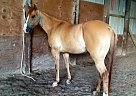 Quarter Horse Gelding for Sale in Kewaunee, Wisconsin