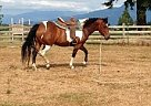 Pinto Mare for Sale in Lynden, Washington