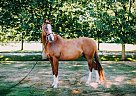 Oldenburg Gelding for Sale in Lynden, Washington