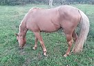 Quarter Horse Stallion for Sale in Granby, Missouri