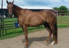 Thoroughbred Gelding for Sale in Stuarts Draft, Virginia