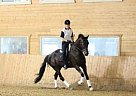 Warmblood Gelding