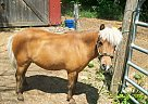Miniature Gelding for Sale in Brackney, Pennsylvania