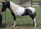 Beverly WHITENER - Stallion in Dalton, GA
