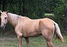 Tennessee Walking Mare for Sale in Diboll, Texas