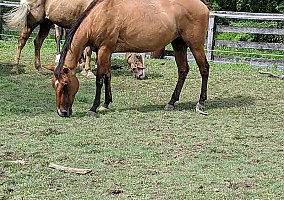 Horses for Sale in Pennsylvania PA - Free Ads - HorseWeb