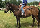 Kentucky Mountain Mare for Sale in Pine River, Minnesota