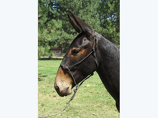 Gaited Yearling Mule for Sale