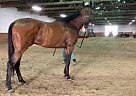 Bluenell - Gelding in Chicago Heights, IL