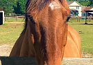 Dunkin Donut - Gelding in Southern Pines, NC