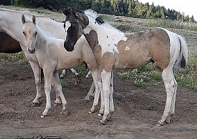 Horses for Sale in Oregon OR - FREE Ads - HorseWeb