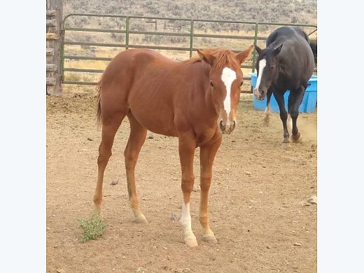 Exceptional APHA Yearling Filly