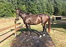 - Gelding in Tryon, NC