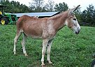 Donkey Mare for Sale in Shelbyville, Tennessee