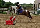 Welsh Pony Gelding for Sale in Oconomowoc, Wisconsin