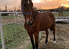 Apollo - Gelding in Cedar Hill, TX
