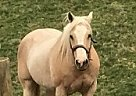 Palomino Mare for Sale in Versailles, Indiana