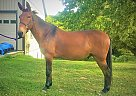 Rusty - Gelding in fallston, MD