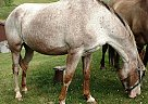 Appaloosa Mare for Sale in Union Grove, Wisconsin