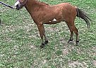 Miniature Stallion for Sale in Tallahassee, Florida