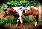 Pinto Gelding for Sale in Lillian, Alabama