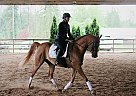 Arabian Gelding for Sale in Maple Ridge, British Columbia