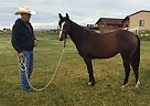 Quarter Horse Mare for Sale in Monte Vista, Colorado