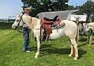 Pony of the Americas Mare for Sale in West Union, Illinois