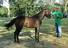 Paso Fino Stallion for Sale in Vineland, New Jersey