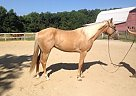 Quarter Horse Gelding for Sale in Saint Stephens Church, Virginia