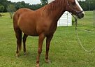 Missouri Fox Trotter Mare for Sale in Screven, Georgia