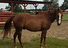 Quarter Horse Stallion for Sale in Screven, Georgia