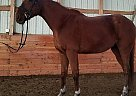 Thoroughbred Gelding for Sale in Leavenworth, Kansas