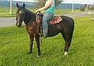 Tennessee Walking Mare for Sale in Moravia, New York