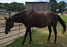 Quarter Horse Mare for Sale in Cape Elizabeth, Maine