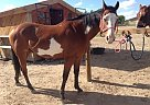 Paint Stallion for Sale in Farmington, New Mexico
