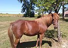 Shetland Pony Mare for Sale in Salem, Illinois